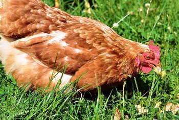 Contributi imprese avicole
