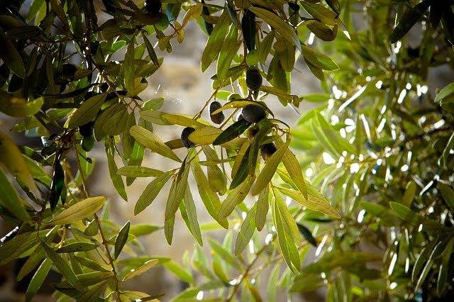Oliveti - Photo credit: Foto di Julie-Kolibrie da Pixabay
